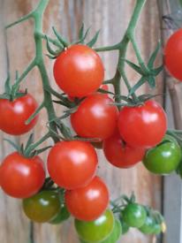 Cherry Tomato Plant growing beautifully