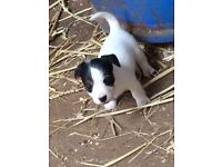 3 jack Russel pups for sale