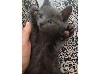 British short hair blue kittens