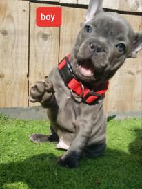 1 French Bulldog blue boy ready to go!!!!