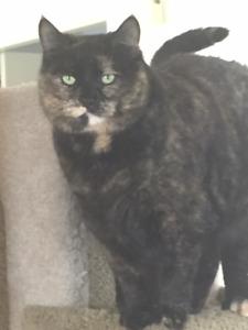 Abyssinian Cat Kijiji