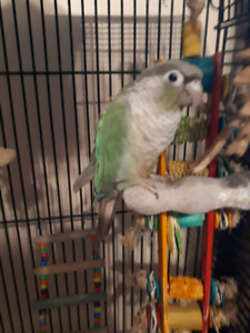 Conure, Cage with stand and all Toys