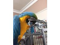 Gorgeous macaw+cage (can deliver)