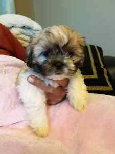 ADORABLE TEDDY BEAR PUPPIES READY NOW!!!