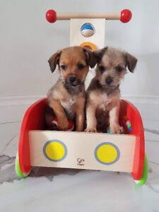 Pug Chi Terrier Puppies