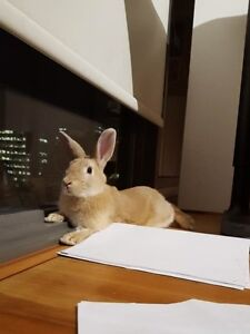 Selling a adorable, smart, yellow bunny