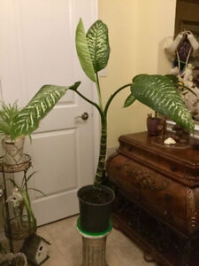 Large Leafy Indoor Plant