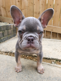 French Bulldog puppy - Carrying Testable -