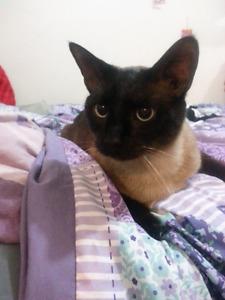 Siamese male cat for sale 200