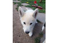 Puppies alaskan malamutem syberia husky