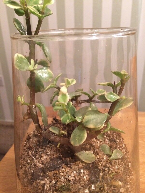 Bottle plants for Christmas