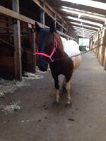 Jumper Mare For Sale