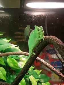 One chameleon left !!!