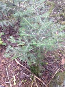 Fresh 2ft to 6ft spruce Trees 5$ to 25$ each  Kawartha Lakes Peterborough Area image 1