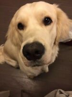 1 year old golden need to find new home
