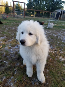 Great Pyrenees/Maremma Puppy