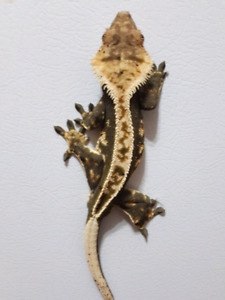 Male Adult Crested Gecko