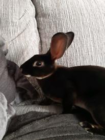 Female Mini Rex Rabbit