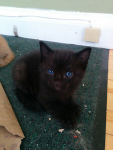 Ready to go NOW (FEMALE) ~~BLACK KITTEH~~
