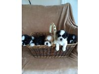 Six shih tzu puppies