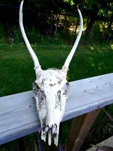 ANTELOPE SKULL with TEETH man cave cottage SCIENCE Art Deco