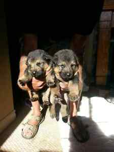 King Shepherd puppies for sale to good homes-3 males left