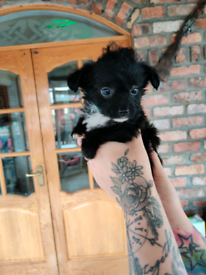 Jack Russell cross poodle ( Jackapoo) pups for sale