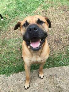 Bullmastiff - Free to good home Castle Hill The Hills District Preview