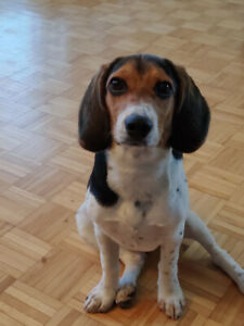 Beagle puppy rehome