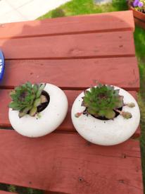 2 succulents plants in pots