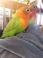 Bébé inséparable Fisher vert pastel nourri à la main