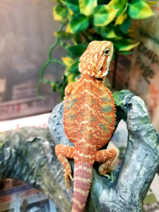 Beautiful high color bearded dragons