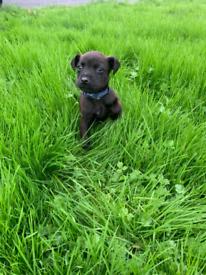 Labrador x Patterdale puppies