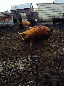 Outside raised and butcher ready pigs