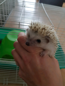Special !!! 3 baby females hedghogs !! open too Trade