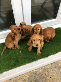 Cocker spaniel puppies (show Type)