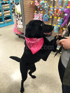 1 year female black lab looking for a new home