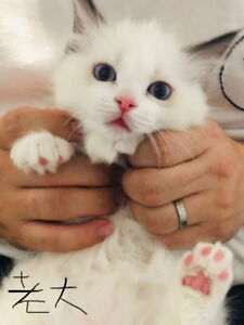 Three Rag doll Kittens for sale