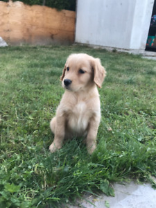 Lovely Purebred Golden Retriever puppies looking for new home