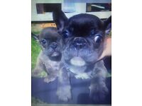 3x kc reg blue French Bulldogs