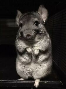 3 years old female chinchilla looks for a warm home