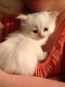 Flame Point Himalayain kittens