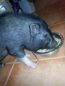 Wanted Female Mini or Pot-Belly Pig