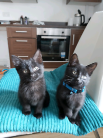 2 kittens boy and girl SOLD