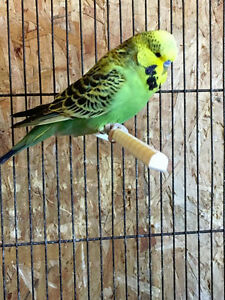 Budgies & Cages!