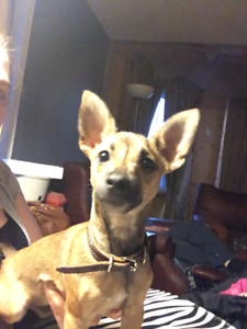Chihuahua x urgently needs new home