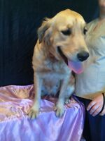 Goldendoodle and golden retriever Females for foster