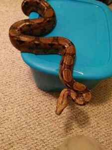 6 ft boa constrictor and setup
