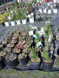 PERENNIALS-buy from a local grower-ALWAYS SAVE THE TAX Kawartha Lakes Peterborough Area image 6