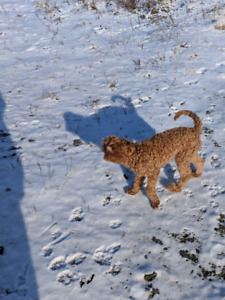 Red Male Miniature Poodles